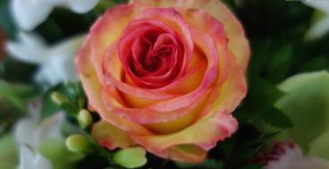 A Rose on the Disney Wonder