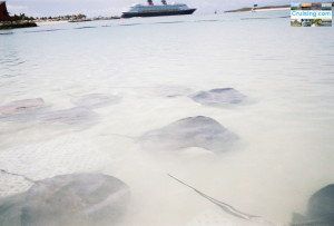 Stingrays - Castaway Cay